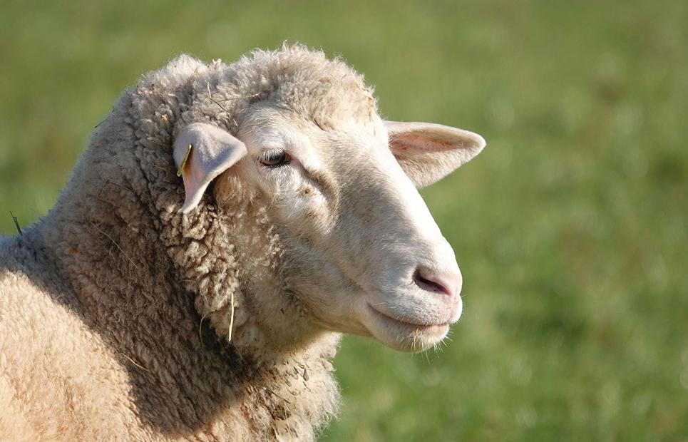 Ein weißes Schaf